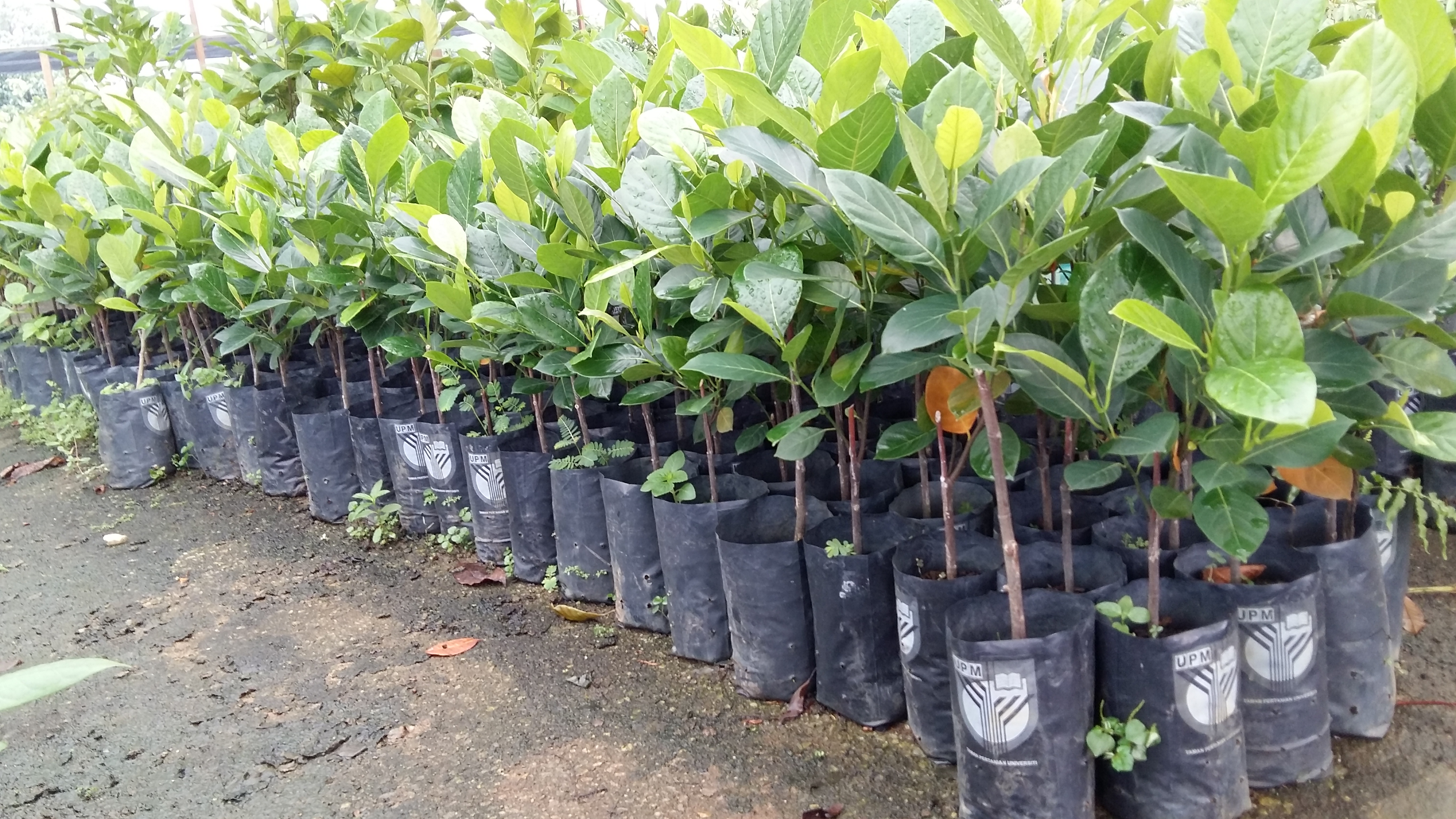 Jackfruit seedlings